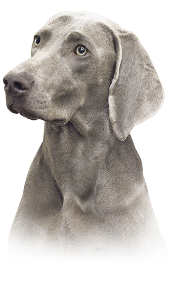 April Grey Bay - weimaraner