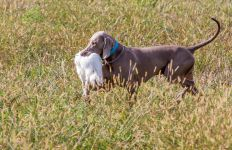 Weimaraner shorthaired